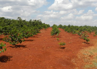 Smallholder coffee restoration (Kenya)