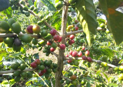 Smallholder coffee restoration (Peru)